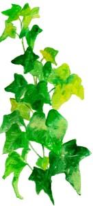 大ivy-s