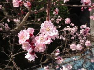 杏の花246